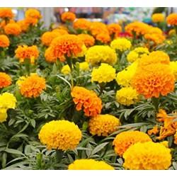 Óriás bársonyvirág színkeverék 1,5 gr Agrosel