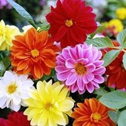 Telt-virágú Dália színkeverék 1 gr Agrosel