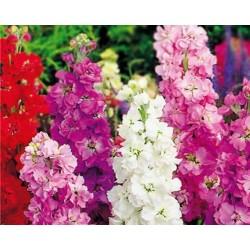 Teltvirágú viola színkeverék 0,75 gr Agrosel